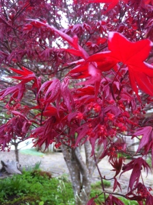 Newly unfurled leaves of a Japanese Maple
