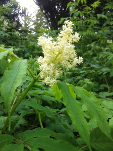 Red Elder flower