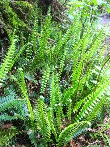Ferns coming up in the disturbed earth left by an uprooted tree.