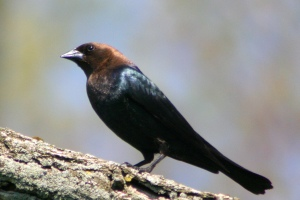 Brown Headed Cowbird (Thanks to Wikipedia)