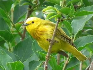 Yellow Warbler (Thanks to Wikipedia)