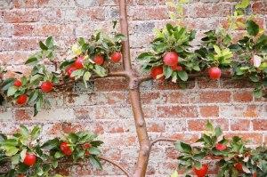 Beautifully sculpted espalier apple tree