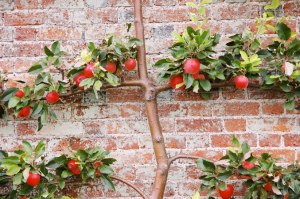 Beautifully sculpted espalier apple tree