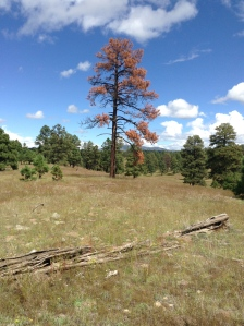 Dead Ponderosa Pine on N-Bar Ranch.