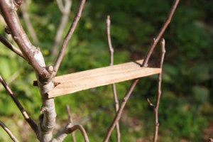 Branch spreader used in orchard craft to widen the branch angle on a young fruit tree
