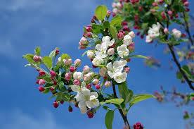 sweet apple blossoms