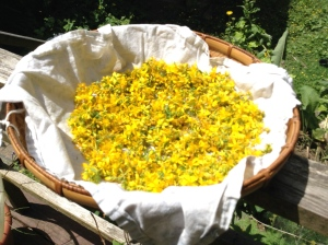 St. John's Wort Flowers drying a bit in the sun prior to being made into the beautiful red infused oil.
