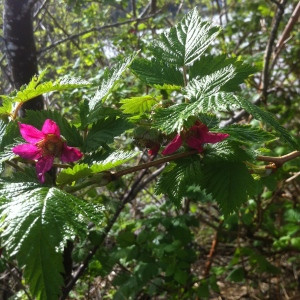 Salmon Berry vines are blooming in the shadows.