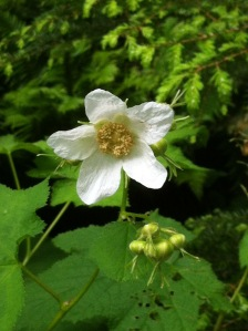 Thimble Berry blossom in the woods.