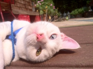Our odd eyed deaf cat wears a harness when she goes outside to keep her from going on dangerous adventures.