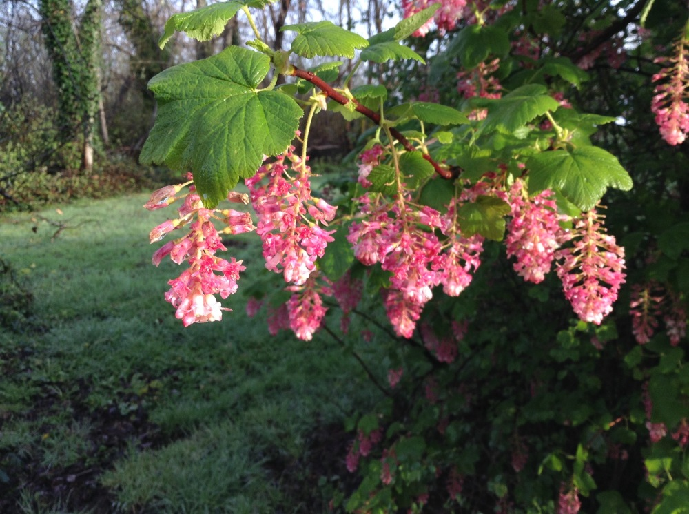 Red Flowering Currant - alive with native pollinators.