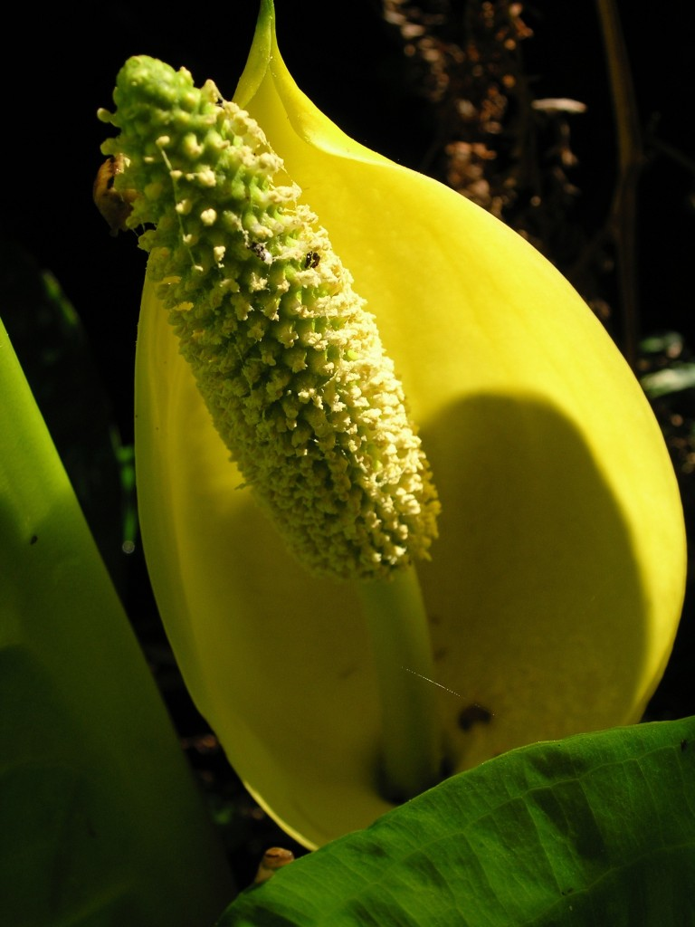 Skunk Cabbage- a spring scent to awaken the senses, so to speak.