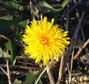 The dandelions are like little suns at our feet