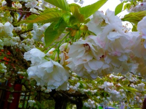apple blossoms are one of the sensory pleasures of Spring, scent, beauty and the sound of bees...