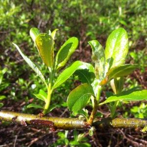 unfurling willow leaves