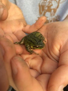 the little frog that has been serenading us from our little pond since Joe rescued him.