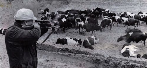 Shooting poisoned dairy cows during the Michigan PBB disaster. Image from the Detroit Free Press