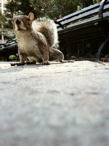 A Manhattan Squirrel.