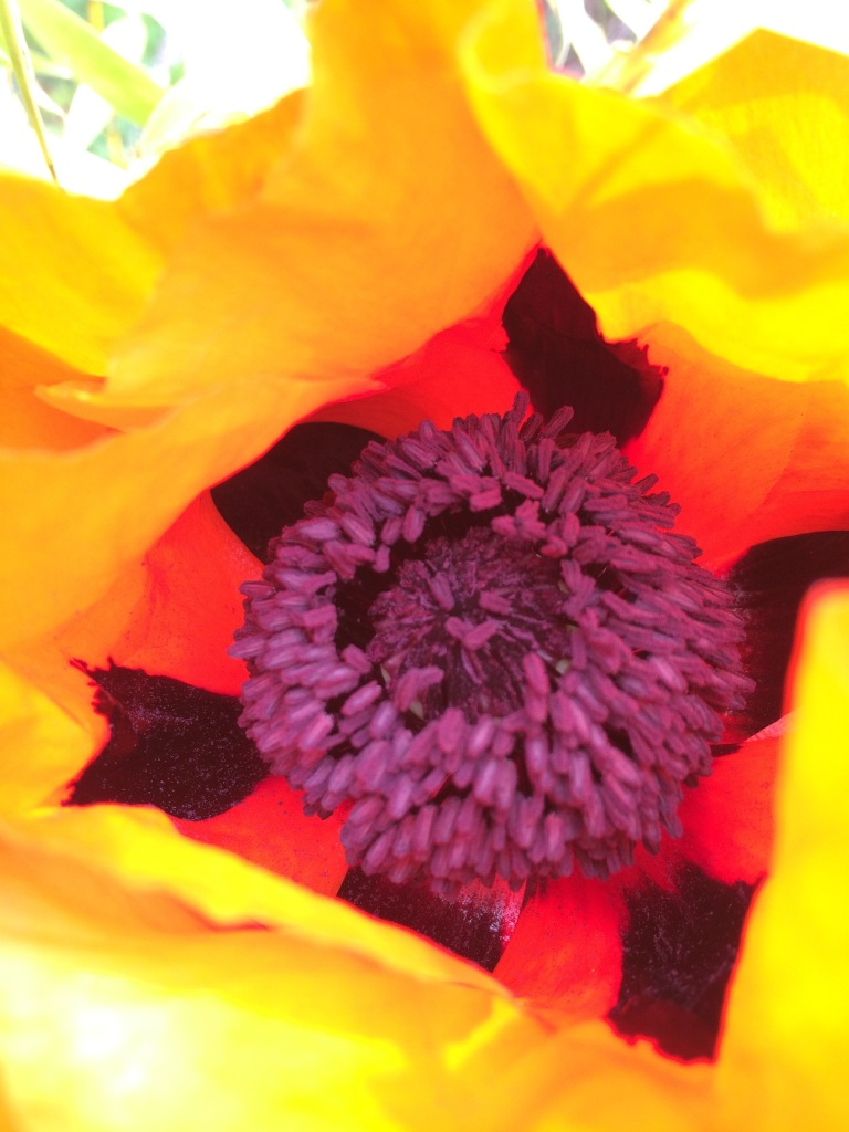 It is amazing that the Poppies are already blooming.