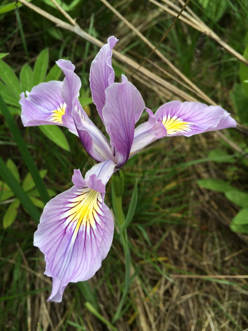 Wild iris seen on Joe's Hike, while I received acupuncture Tuesday in Corbett.